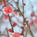 写真: 八重寒紅梅ー2