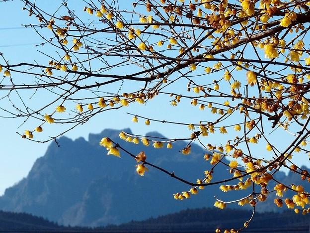 妙義山と蠟梅