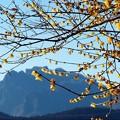 写真: 妙義山と蠟梅