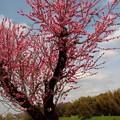 写真: 土手にも春がーA