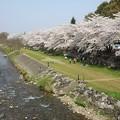 桜と柳瀬川