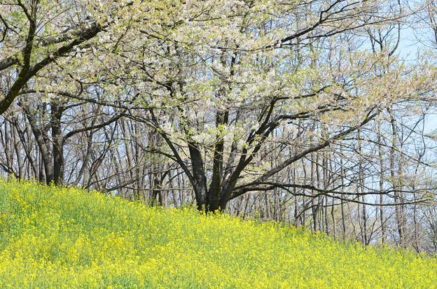 Photos: 葉桜と菜の花