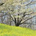 写真: 葉桜と菜の花
