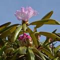 瑞牆山に咲く花ーB