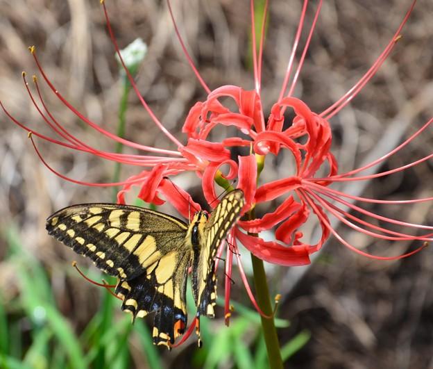 彼岸花と蝶