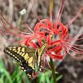 写真: 彼岸花と蝶