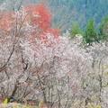紅葉と冬桜のコラボー2