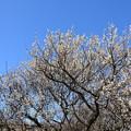 Photos: 梅が咲き始めましたーB