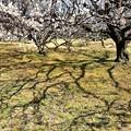Photos: 梅が咲き始めましたーC