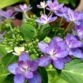 ベランダにも紫陽花が