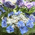 Photos: 紫陽花B