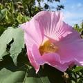 Photos: 葵の花