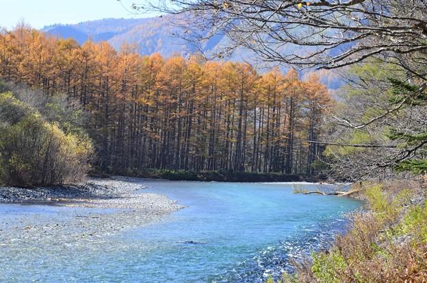 Photos: カラマツの紅葉
