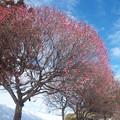 梅花の季節に雪が