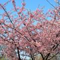 ご近所の河津桜も満開です