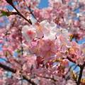 ご近所の河津桜も満開です-2