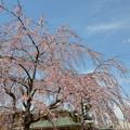 ご近所のしだれ桜