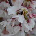 雪に震える桜