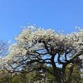Photos: ご近所さんの白い花