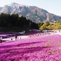 Photos: 想い出の芝桜