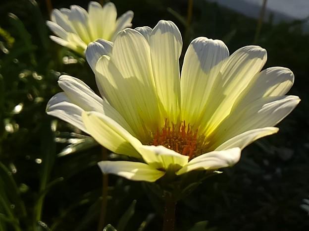 お隣さんに咲く花