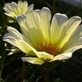 Photos: お隣さんに咲く花