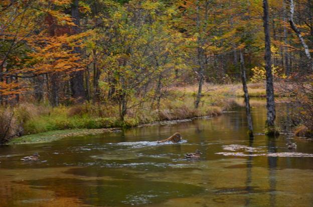 Photos: 秋の田代池に野猿が