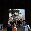 写真: 千秋公園の桜 2018-04-22_7