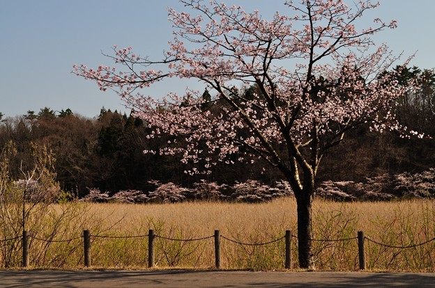 小泉潟公園 フォト蔵用 2018-04-21_4