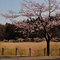 写真: 小泉潟公園 フォト蔵用 2018-04-21_4