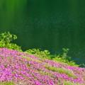 写真: 大松川ダム 芝桜園 02