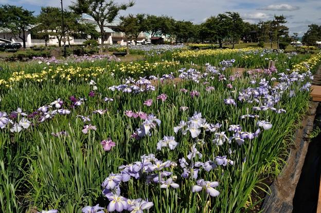 浅舞公園 あやめまつり 2018-06-25_19