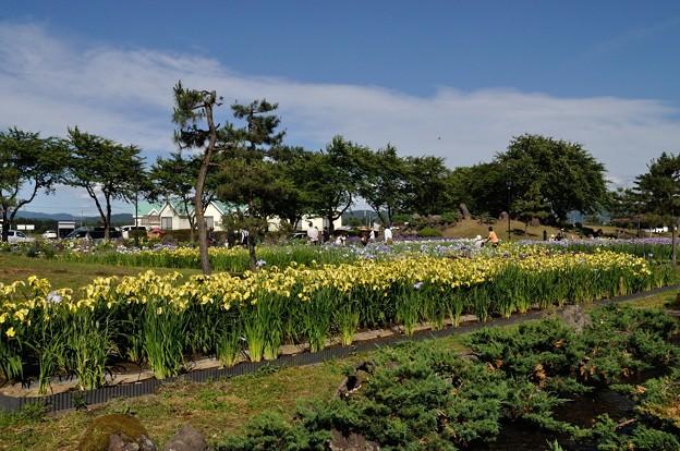 浅舞公園 あやめまつり 2018-06-25_24