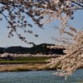 米代川河畔の桜