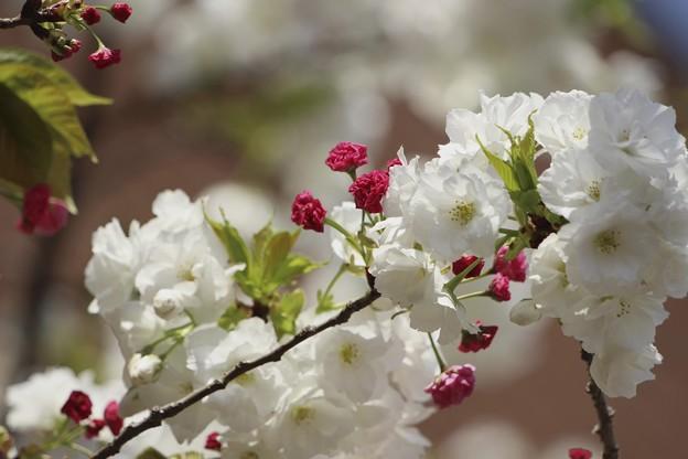 造幣局の桜2~♪