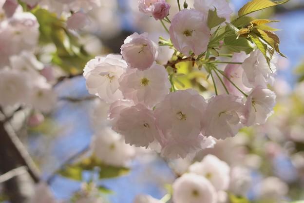 造幣局の桜4~♪