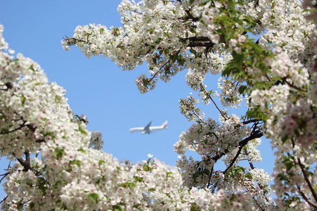 桜と飛行機~♪