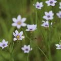 写真: お星さまのお花~ニワゼキショウ~♪