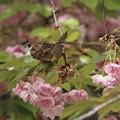 桜とスズメ~尾羽~♪