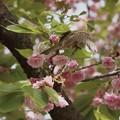 桜とスズメ~翼~♪