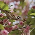 写真: 桜とスズメ~ピタッと~♪
