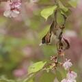 写真: 桜とスズメ~花びら~♪