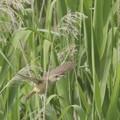 写真: ヨシの中を飛ぶオオヨシキリ ~♪