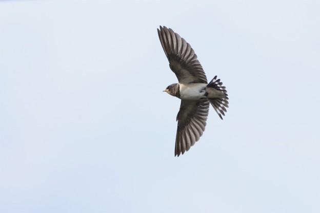 写真: ツバメの飛翔~♪