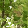 写真: 白いお花に、白い蝶々~♪