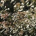 写真: 照射植物~アベリア~♪
