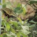 Photos: 羽を広げたキアゲハさん~♪