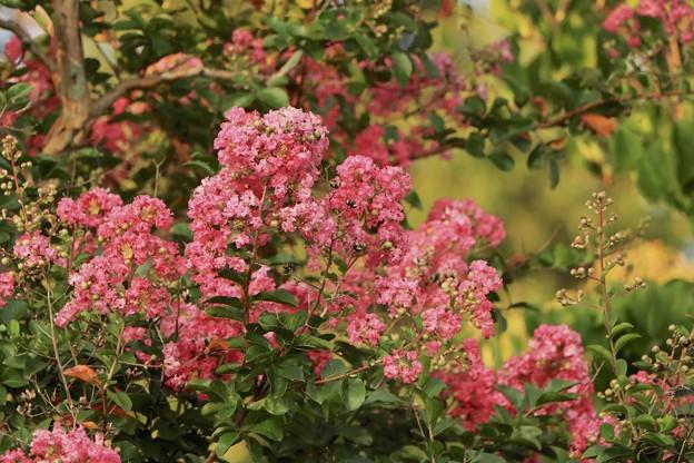 小さい秋~サルスベリの花~♪