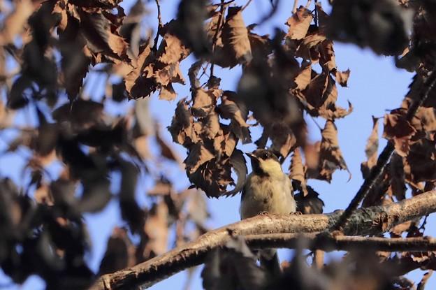 立ち枯れのコナラの木の枝で~♪