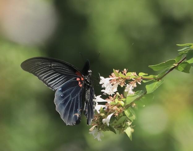 黒いアゲハ~♪